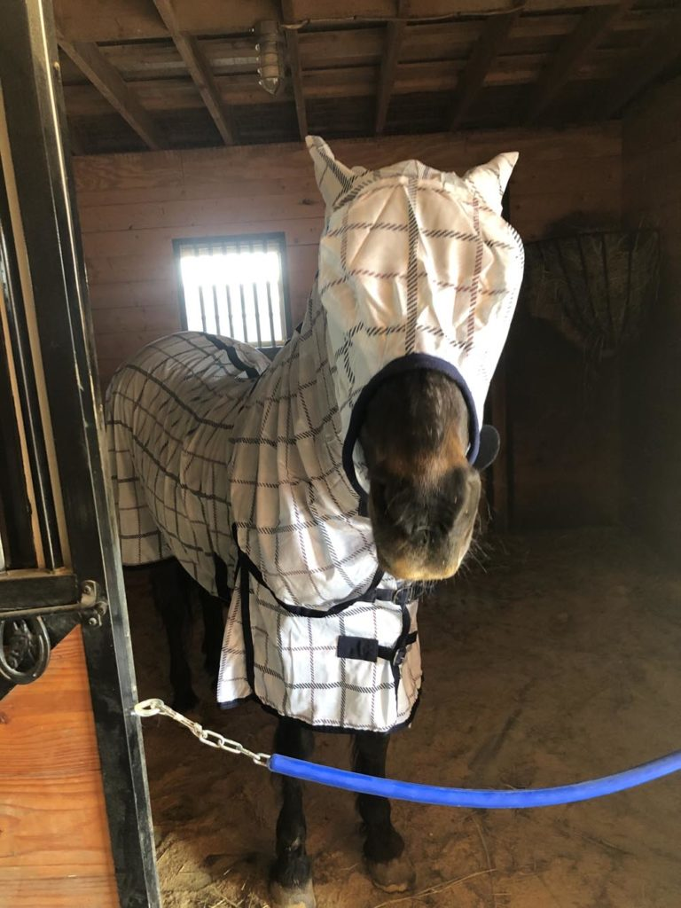 Horse wearing a matching light blue plaid fly sheet and fly mask, ears pinned back