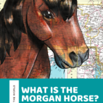 Where did the Morgan horse come from? Facts and History about the Morgan horse